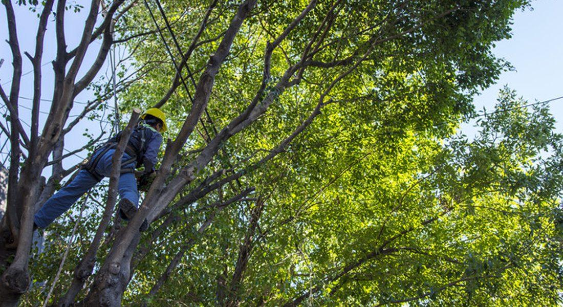 Comenzó la veda de poda de árboles en la Ciudad